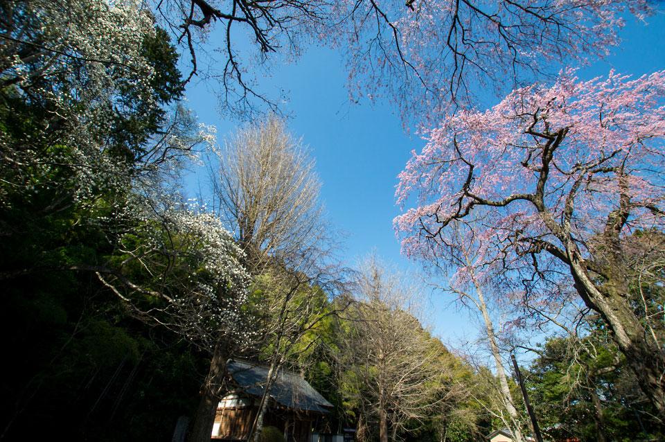 森郷 太子堂の桜