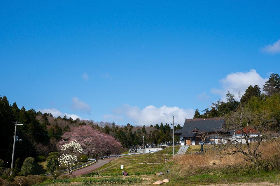 道安寺の桜