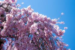 桜咲く 春日 大山邸のしだれ桜