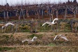 白鳥と梨園
