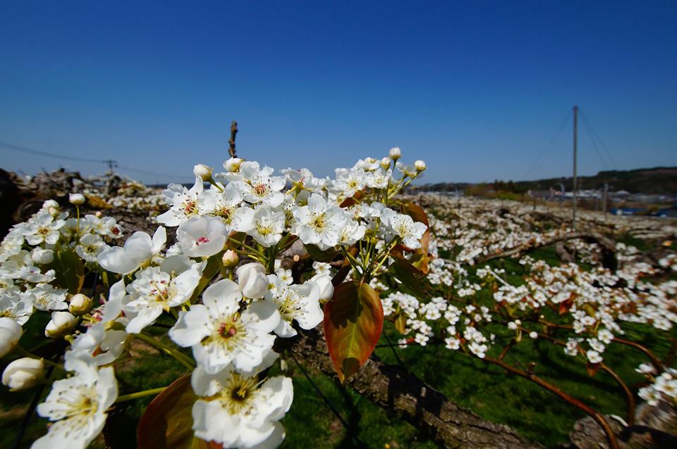 利府梨の花