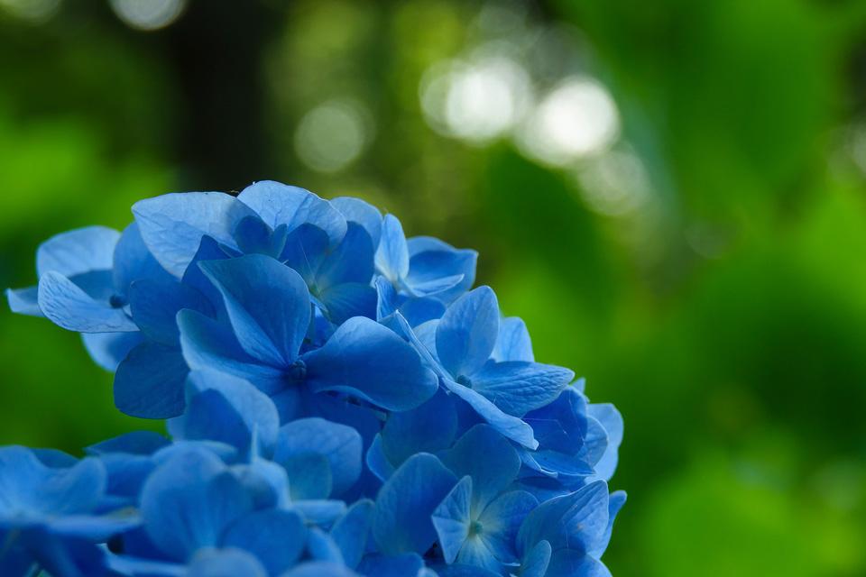 加瀬沼公園の紫陽花