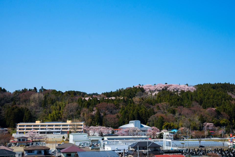 館山の桜と利府小学校新校舎の初コラボ