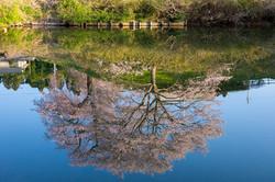水鏡 藤田の夫婦桜