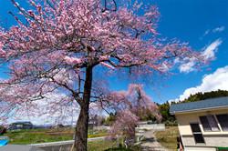 藤田の夫婦桜咲く