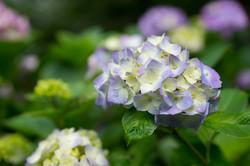 田里津庵の紫陽花