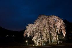 春日の枝垂れ桜 一夜限りのライトアップ