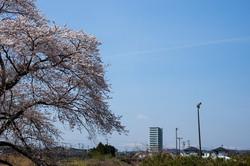 勿来川の桜