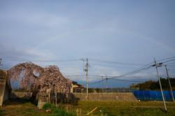 散り際に華 春日の枝垂れ桜
