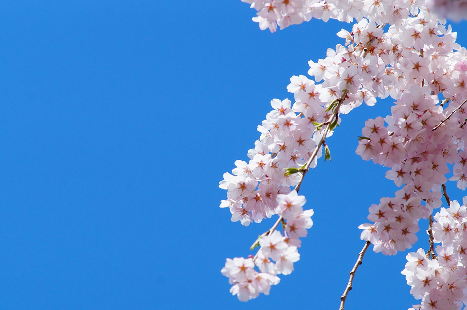 春日の枝垂れ桜