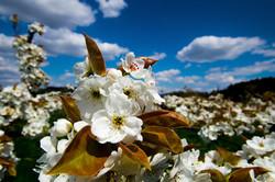 梨の花の主張