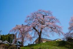 藤田の夫婦桜