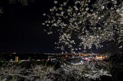 利府城址館山公園の夜桜