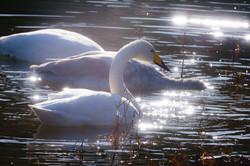 加瀬沼の白鳥