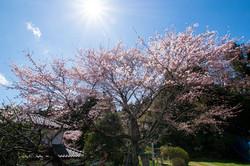 川袋古墳の桜