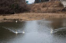 赤沼に白鳥