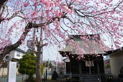 八幡神社の桜