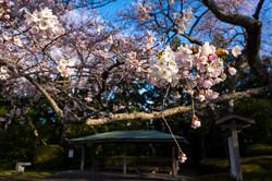 館山公園の桜