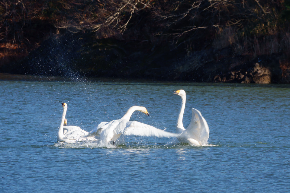 白鳥の喧嘩  加瀬沼にて