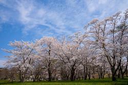 お花見スポット 加瀬沼公園