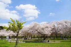 加瀬沼公園の桜