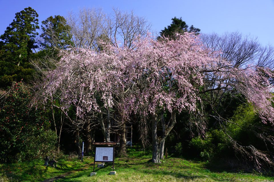 菅谷 穴薬師の桜