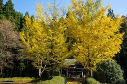 藤田黄金山神社の黄葉