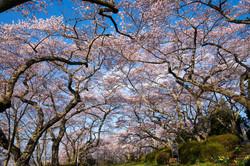 館山公園桜のトンネル