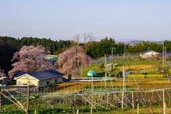 桜のある風景  藤田の夫婦桜