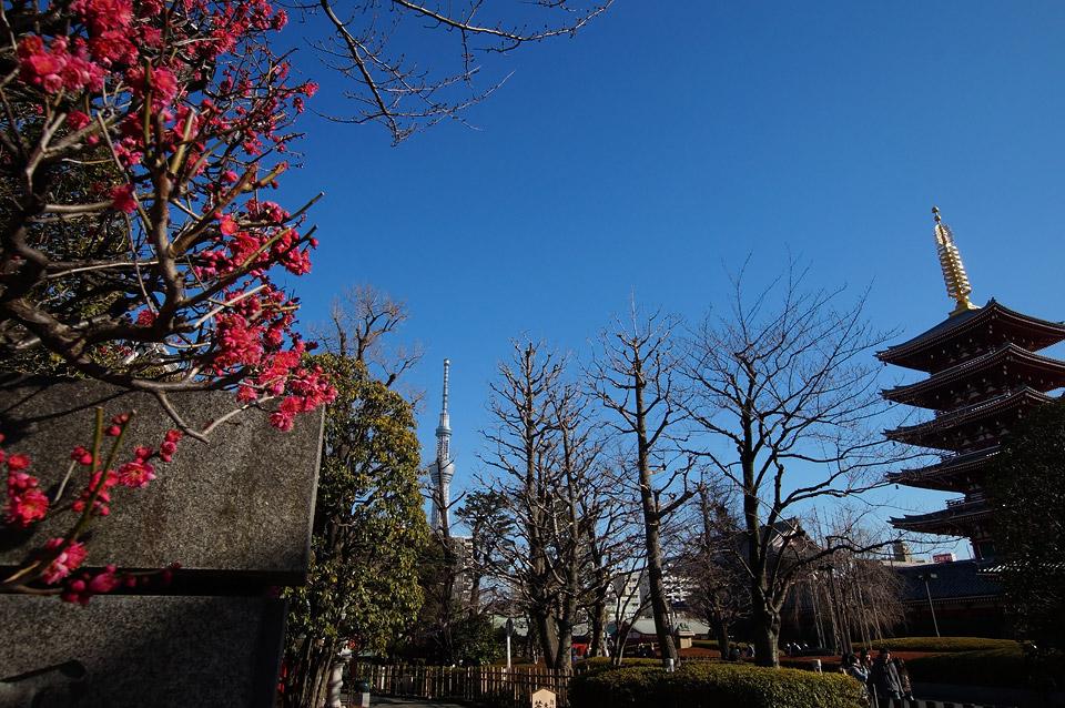 浅草寺の紅梅とスカイツリー