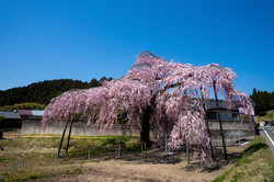 春日 大山邸のしだれ桜