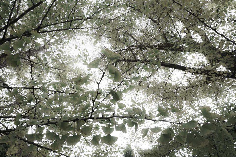 黄金山神社の神木