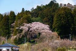 菅谷不動尊の桜