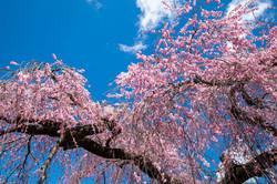 春日のしだれ桜