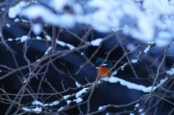 冬のカワセミ