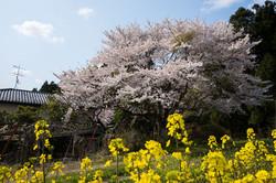 川袋古墳群の桜