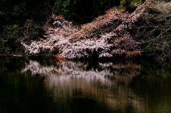 山桜 寒風沢溜池にて