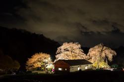 藤田の夫婦桜ライトアップ