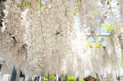楊岐寺の白い藤