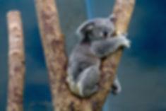 koala-1100469_1280.jpg