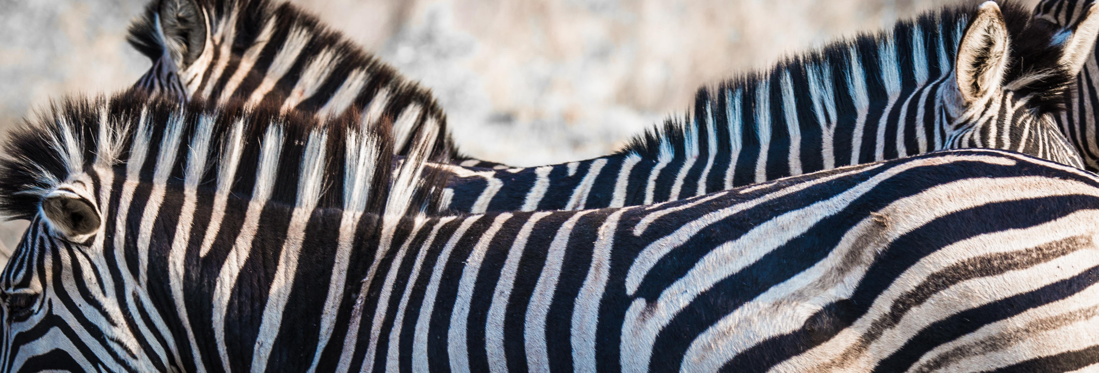 Zebra Backs