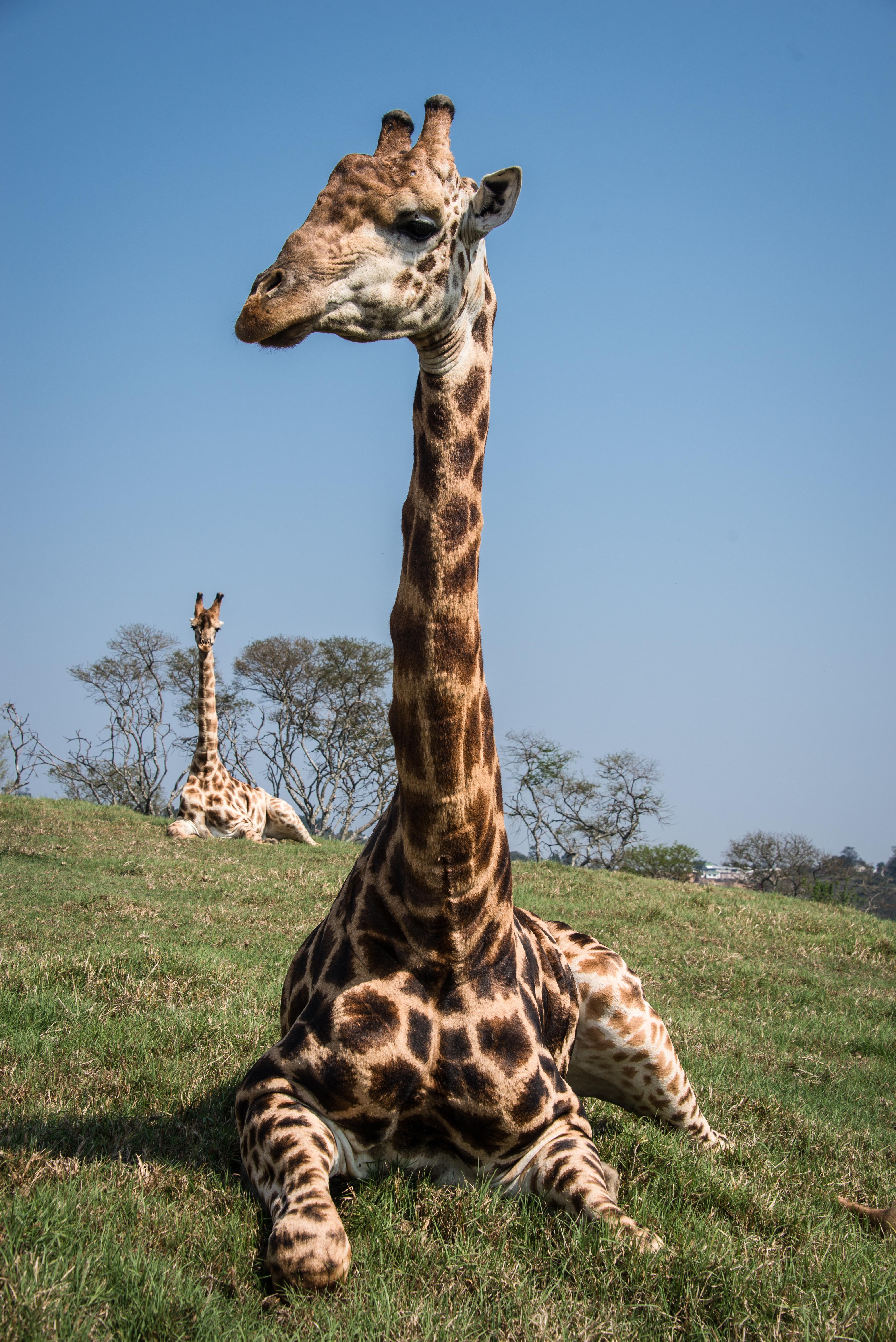 Giraffes Near and Far