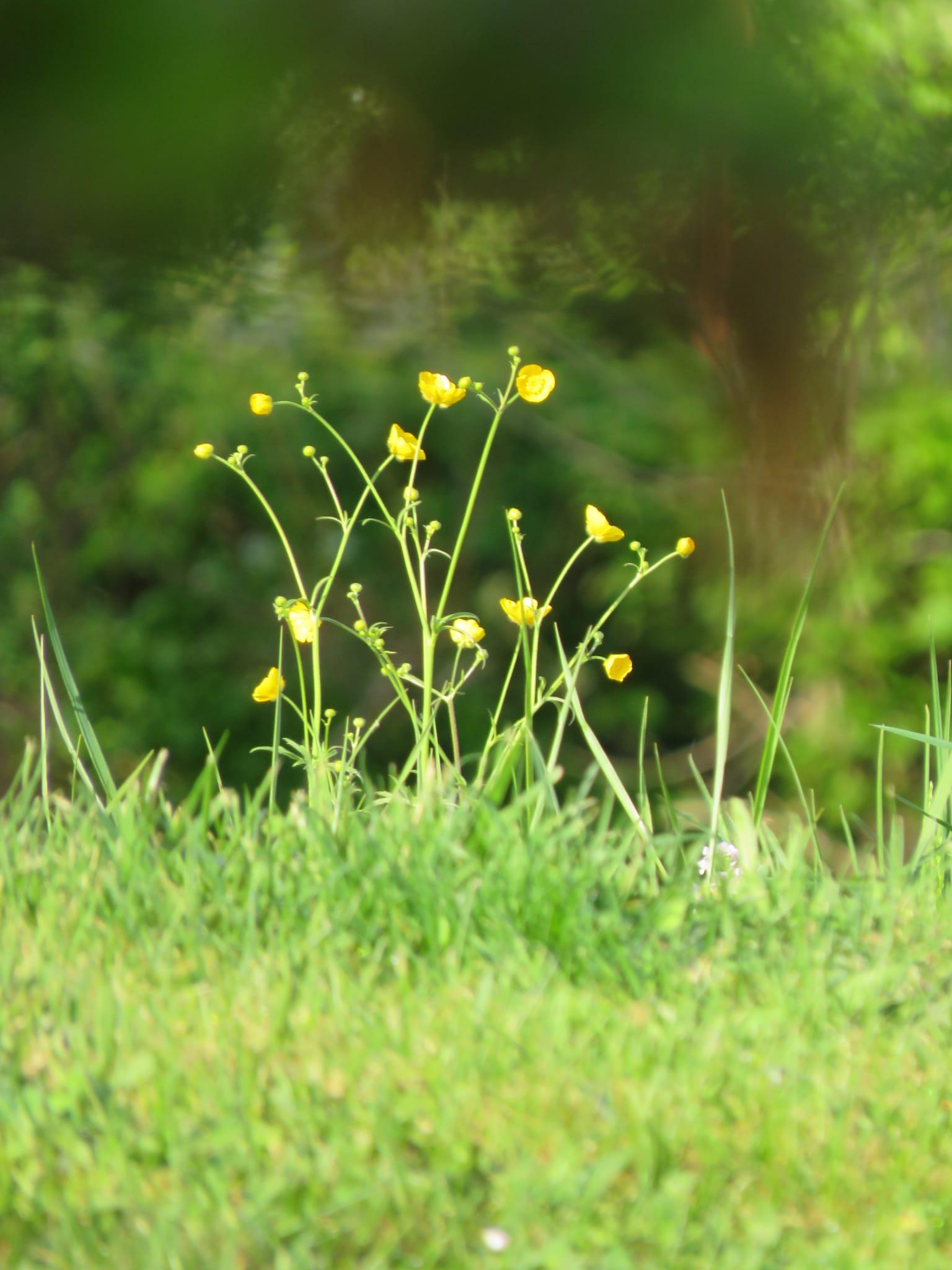 gelbeblümchen