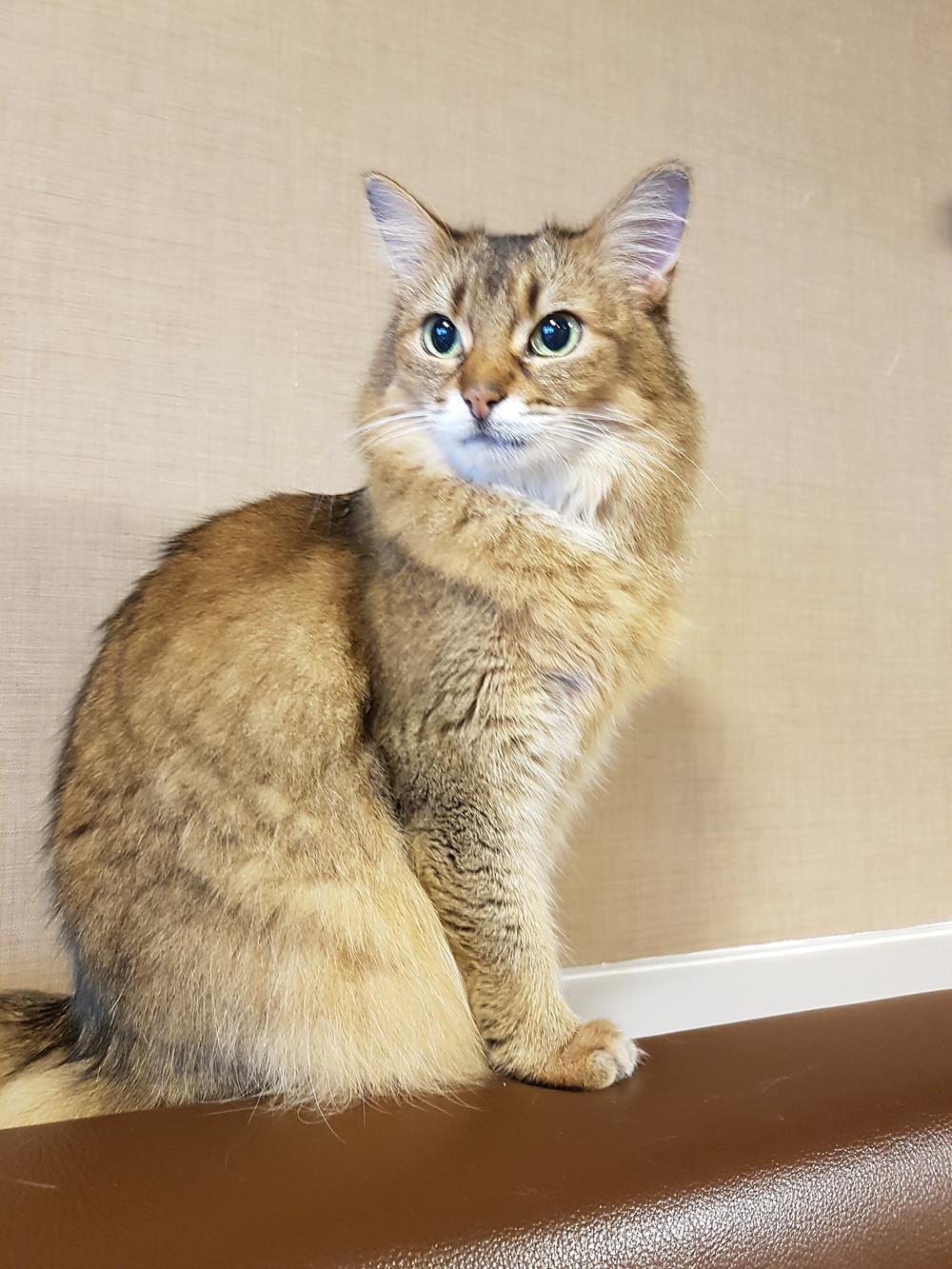 Schöne Katze im Cat Cafe Calico