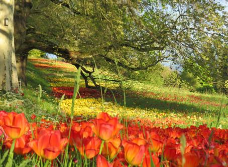 Tulpenspektakel auf der Insel Mainau | Frühling am Bodensee