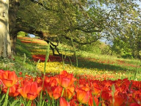 Tulpenspektakel auf der Insel Mainau   Frühling am Bodensee