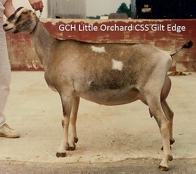 GCH Little Orchard CSS Gilt Edge.jpg