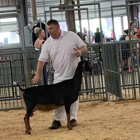 2019 Ohio State Fair Senior Lamancha Show