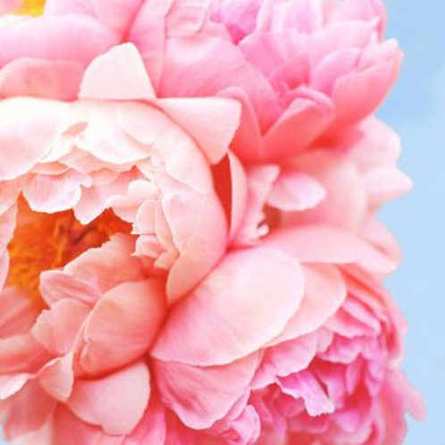 Pink Picasso Perfect Petals