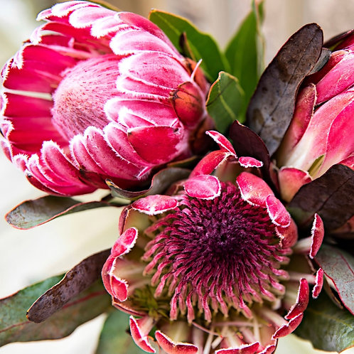 Pink Picasso Pretty Protea